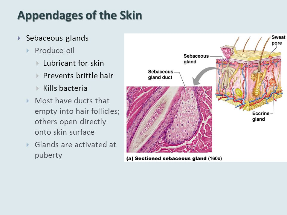 Appendages of the Skin Sebaceous glands Produce oil Lubricant for skin