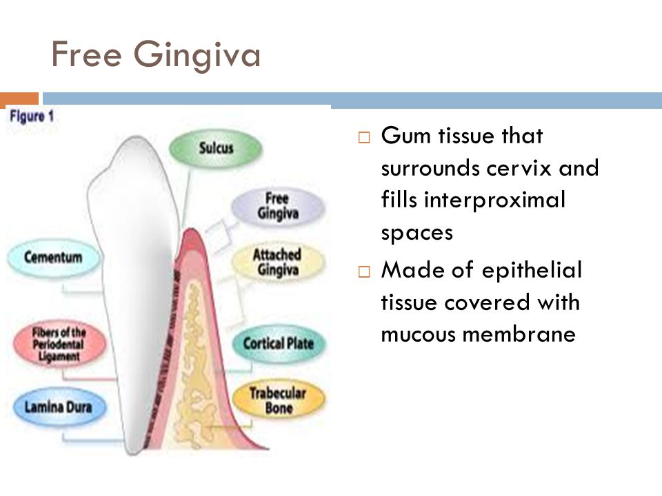 Free Gingiva Gum tissue that surrounds cervix and fills interproximal spaces.