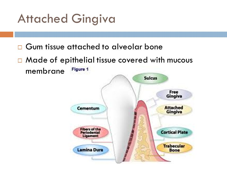 Attached Gingiva Gum tissue attached to alveolar bone