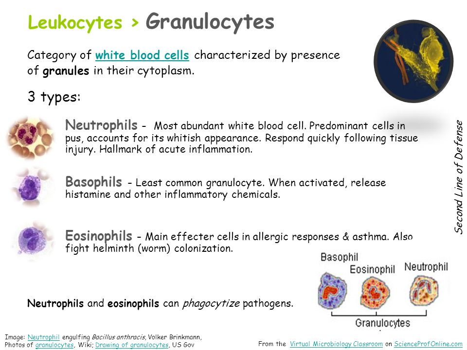 Leukocytes > Granulocytes