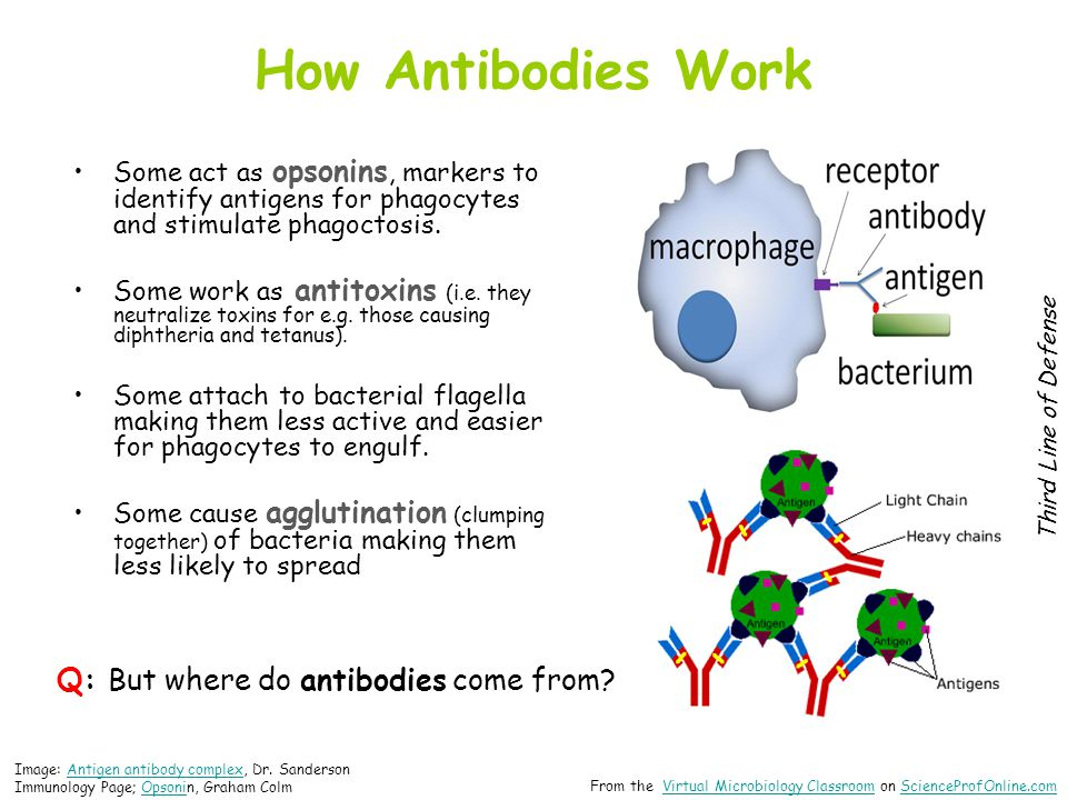 Q: But where do antibodies come from