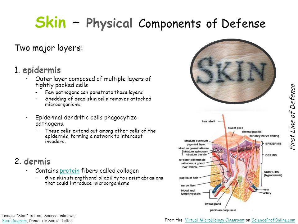 Skin – Physical Components of Defense