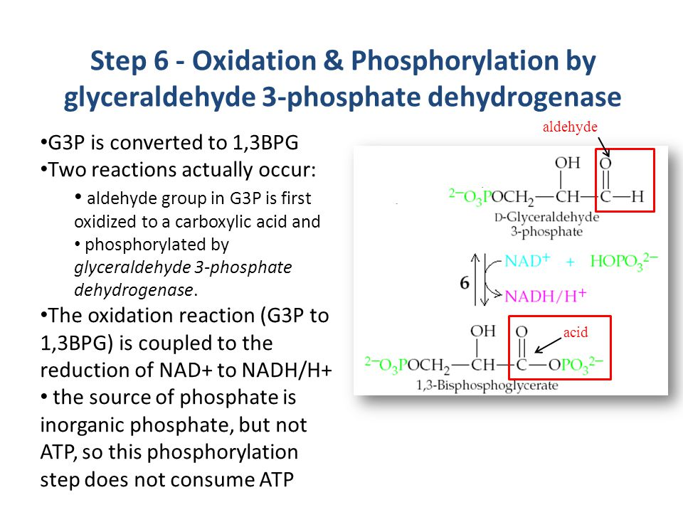 Step 6 - Oxidation & Phosphorylation by glyceraldehyde 3-phosphate dehydrogenase