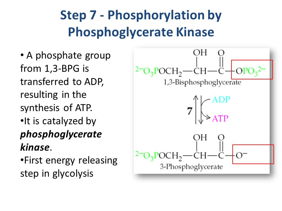 Step 7 - Phosphorylation by Phosphoglycerate Kinase
