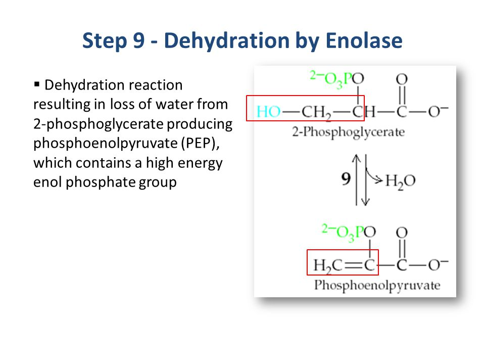 Step 9 - Dehydration by Enolase
