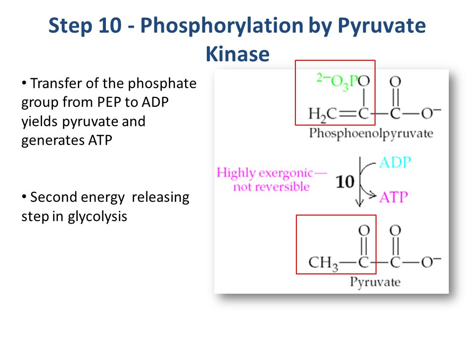 Step 10 - Phosphorylation by Pyruvate Kinase