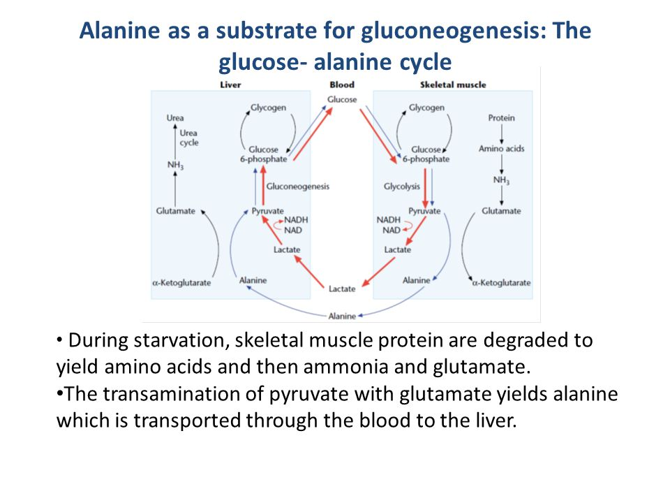 Alanine as a substrate for gluconeogenesis: The glucose- alanine cycle