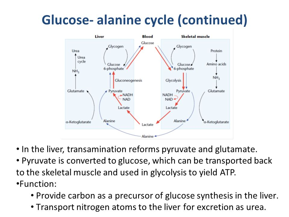 Glucose- alanine cycle (continued)