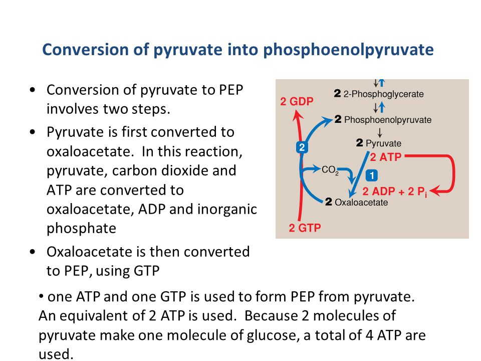 Conversion of pyruvate into phosphoenolpyruvate