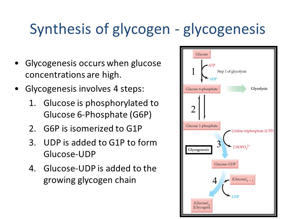 Synthesis of glycogen - glycogenesis