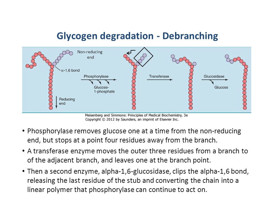 Glycogen degradation - Debranching