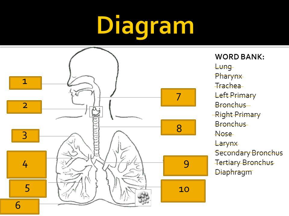 Diagram 1 7 2 8 3 4 9 5 10 6 WORD BANK: Lung Pharynx Trachea