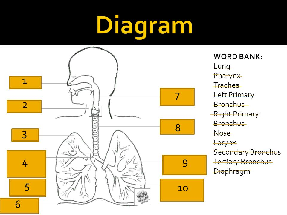 Diagram WORD BANK: Lung Pharynx Trachea