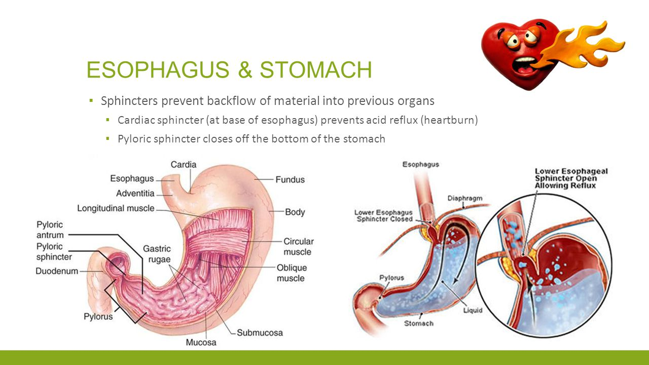 Esophagus & Stomach Sphincters prevent backflow of material into previous organs.