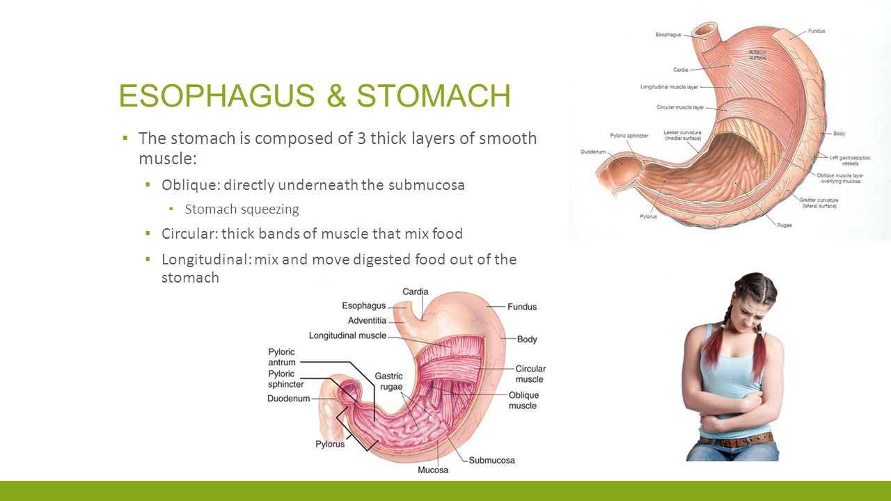 Esophagus & Stomach The stomach is composed of 3 thick layers of smooth muscle: Oblique: directly underneath the submucosa.