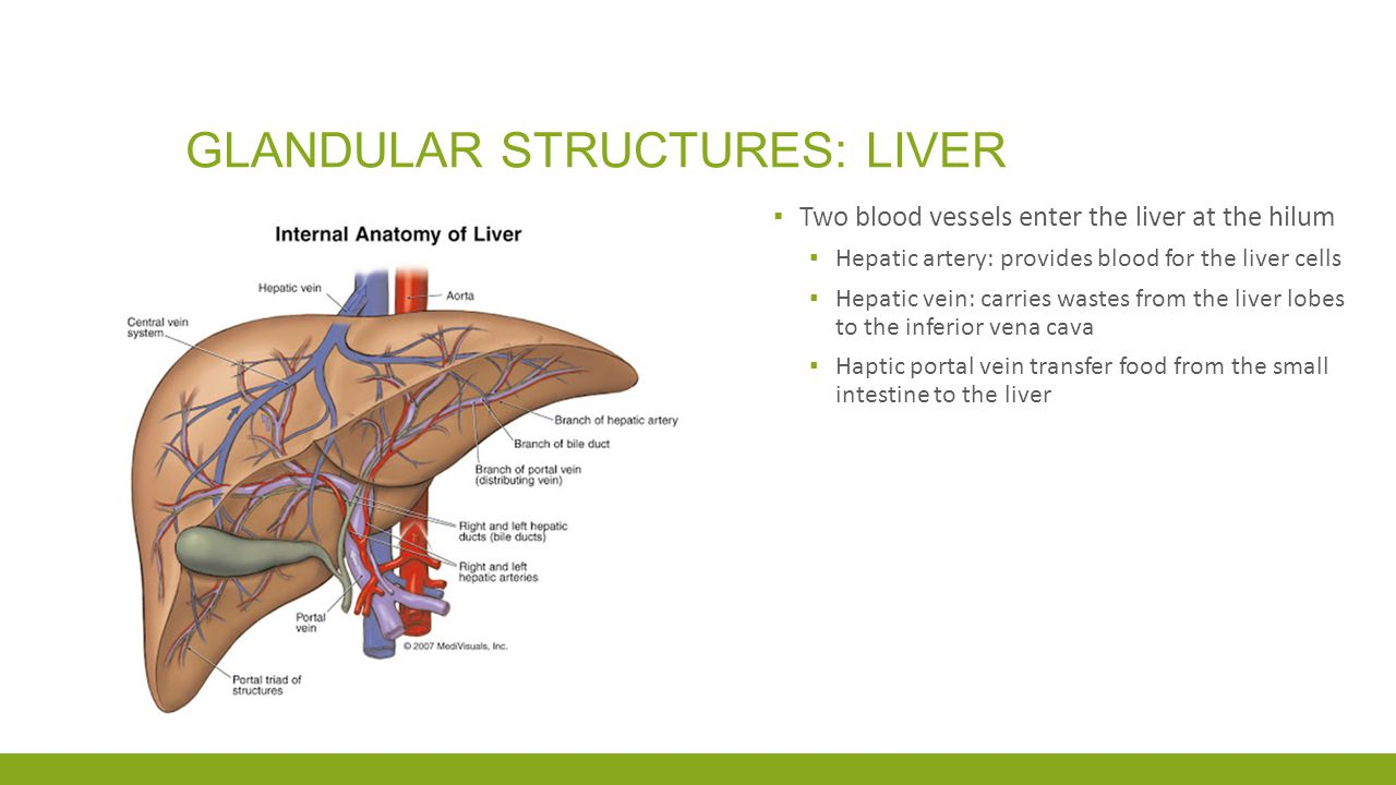 Glandular structures: liver