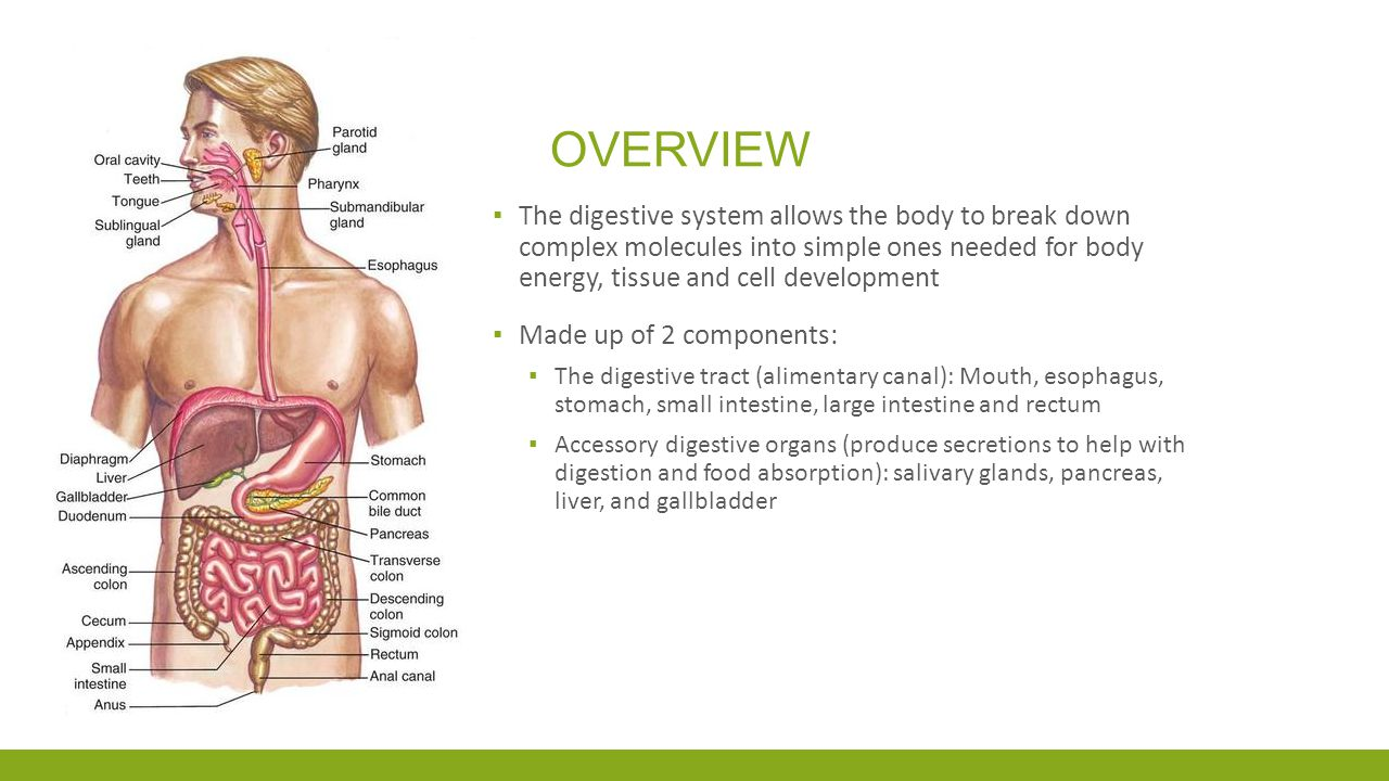Overview The digestive system allows the body to break down complex molecules into simple ones needed for body energy, tissue and cell development.