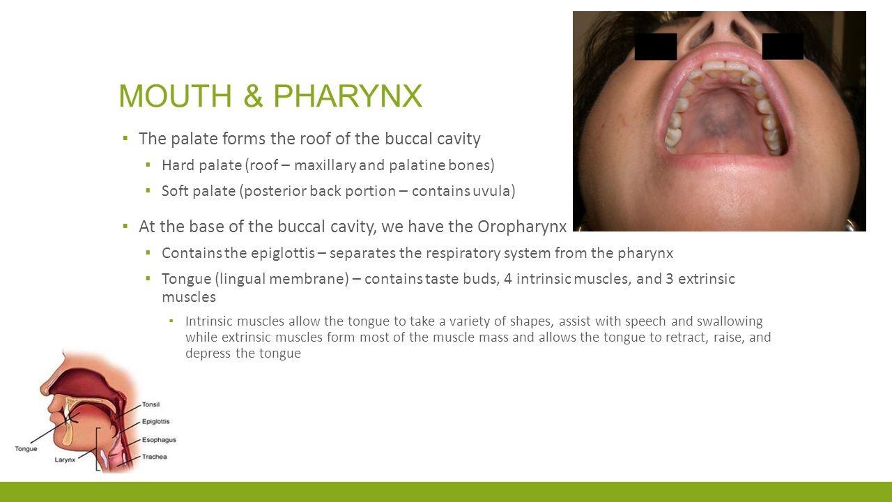 Mouth & pharynx The palate forms the roof of the buccal cavity