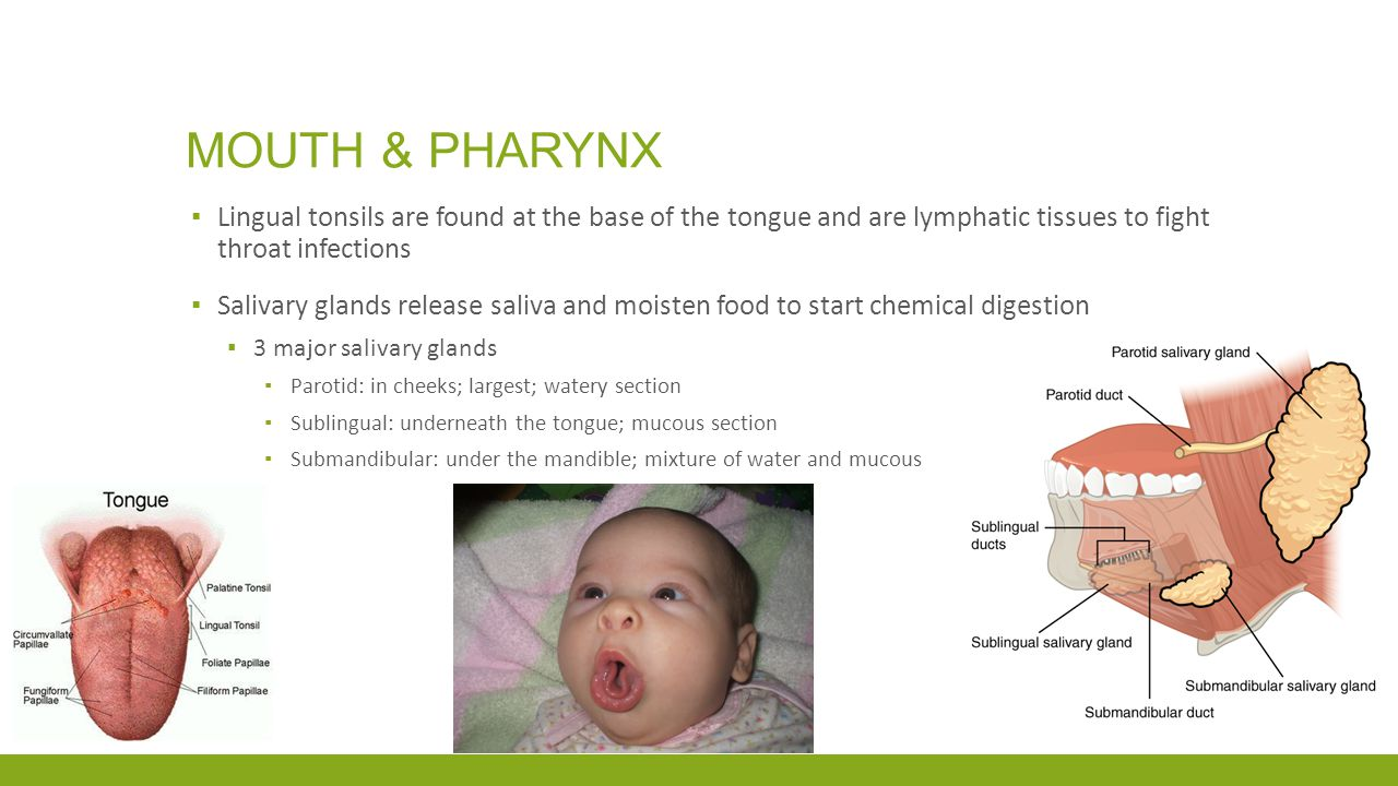 Mouth & pharynx Lingual tonsils are found at the base of the tongue and are lymphatic tissues to fight throat infections.