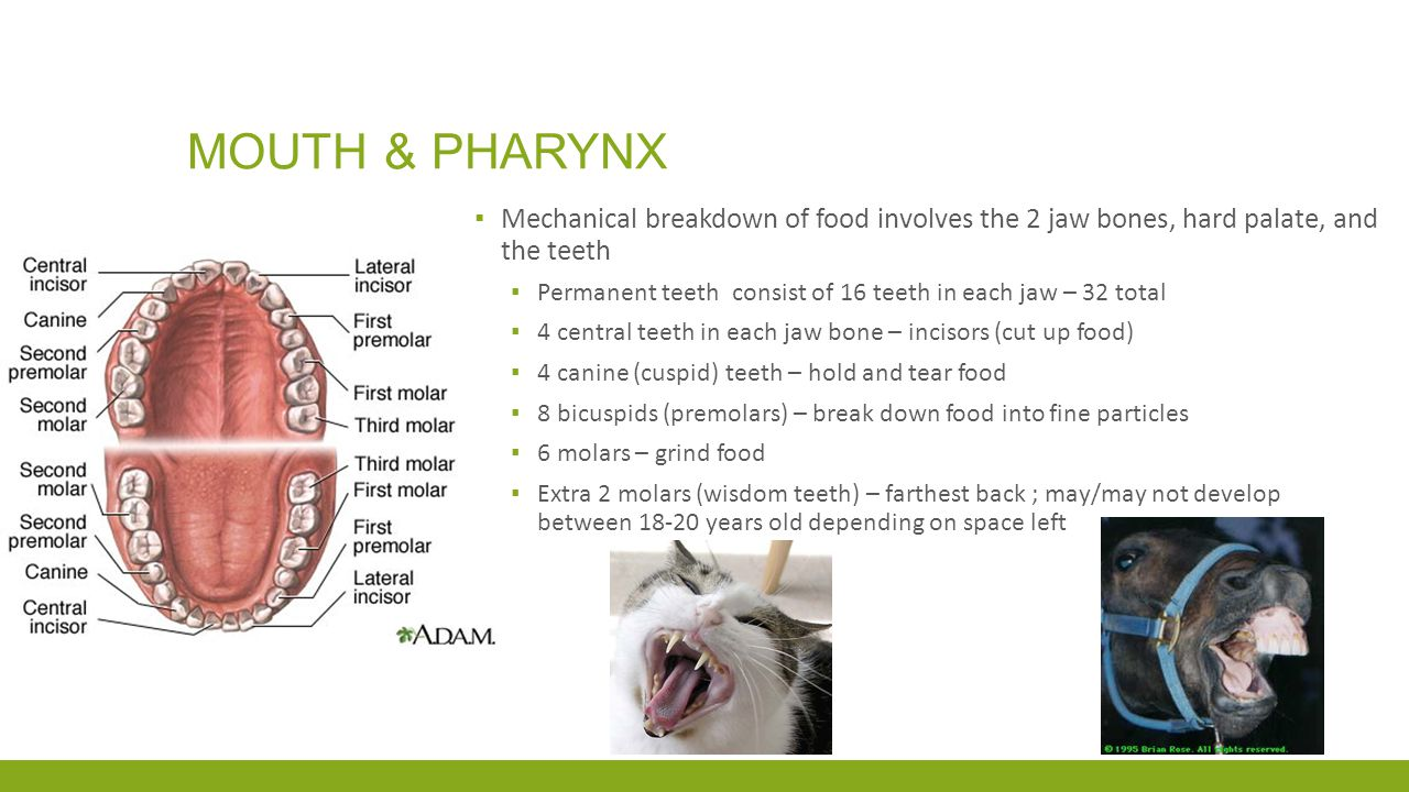Mouth & pharynx Mechanical breakdown of food involves the 2 jaw bones, hard palate, and the teeth.