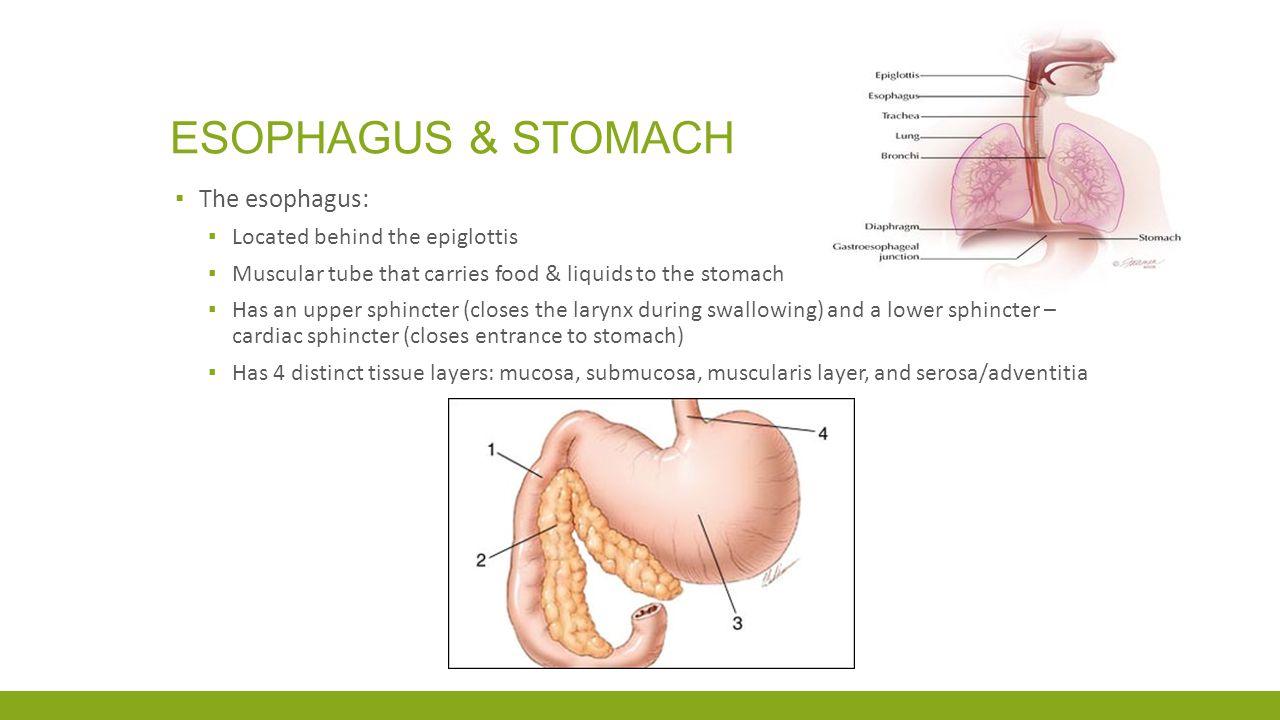 Esophagus & Stomach The esophagus: Located behind the epiglottis