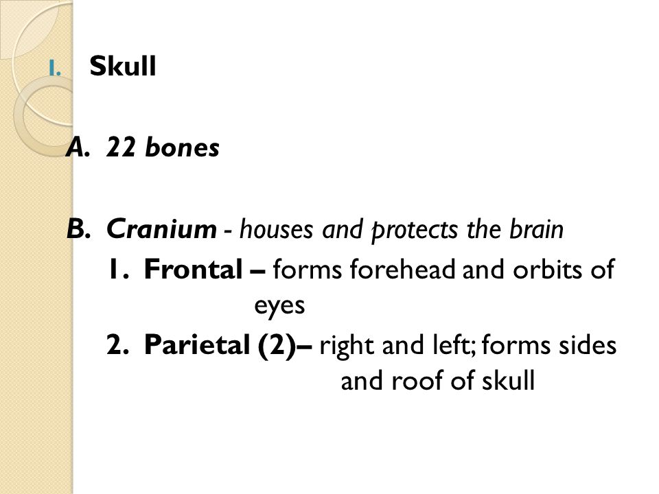 Skull A. 22 bones. B. Cranium - houses and protects the brain. 1. Frontal – forms forehead and orbits of eyes.