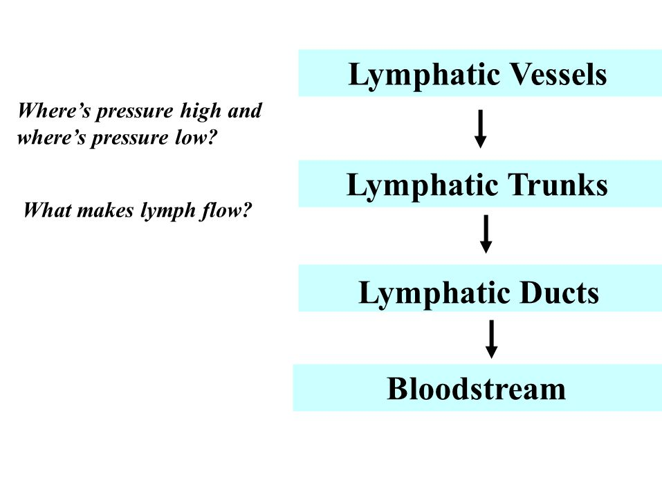 Lymphatic Vessels Lymphatic Trunks Lymphatic Ducts