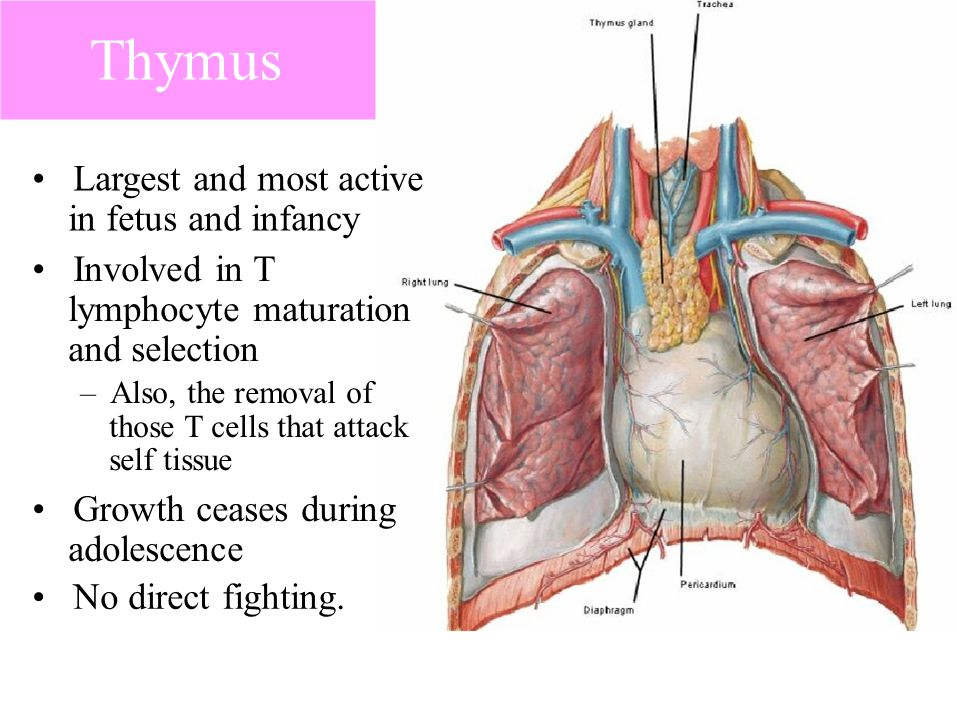 Thymus • Largest and most active • Involved in T