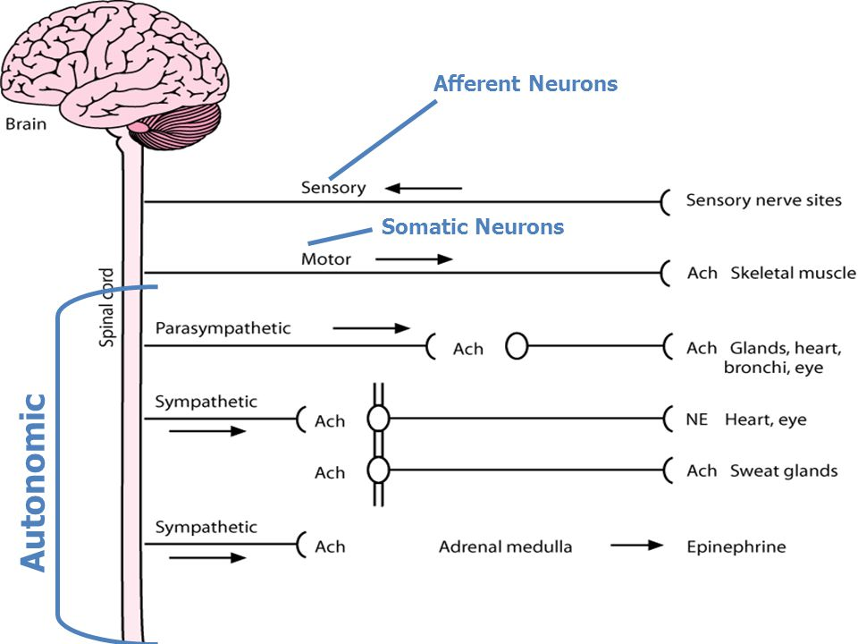 Autonomic Afferent Neurons Somatic Neurons