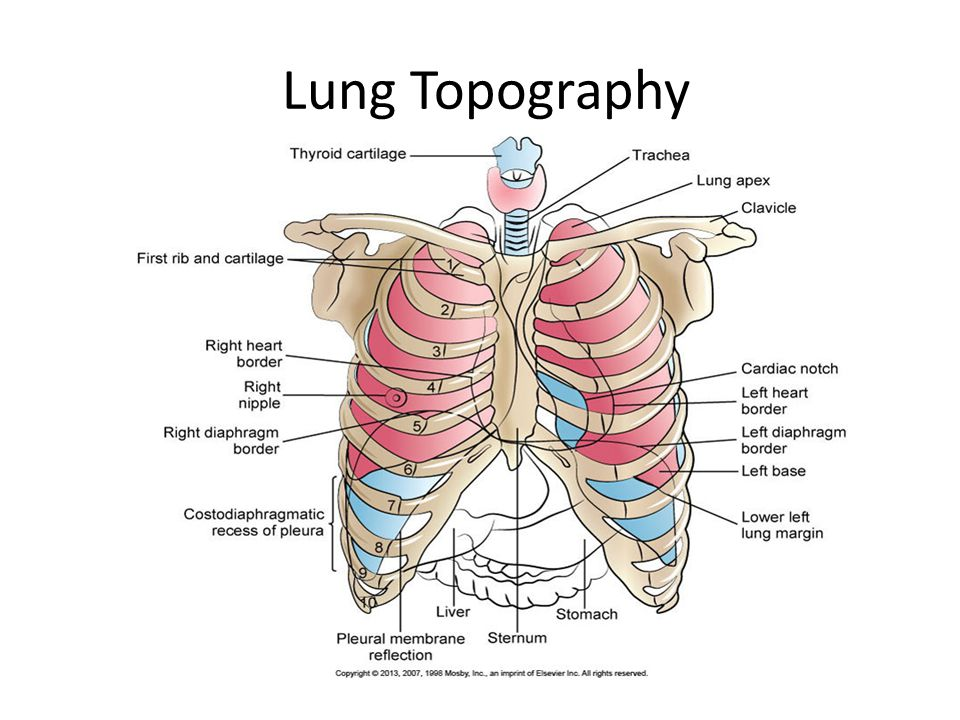 The lungs and chest wall ppt video online download 3 lung topography ccuart Choice Image