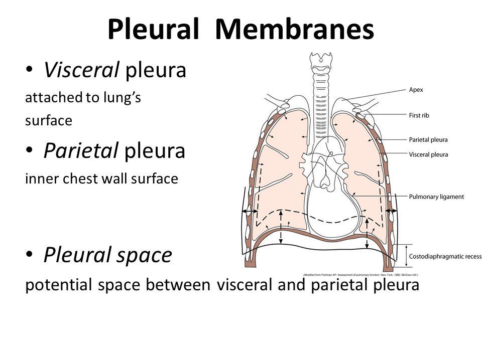 Pleural Membranes Visceral pleura Parietal pleura Pleural space