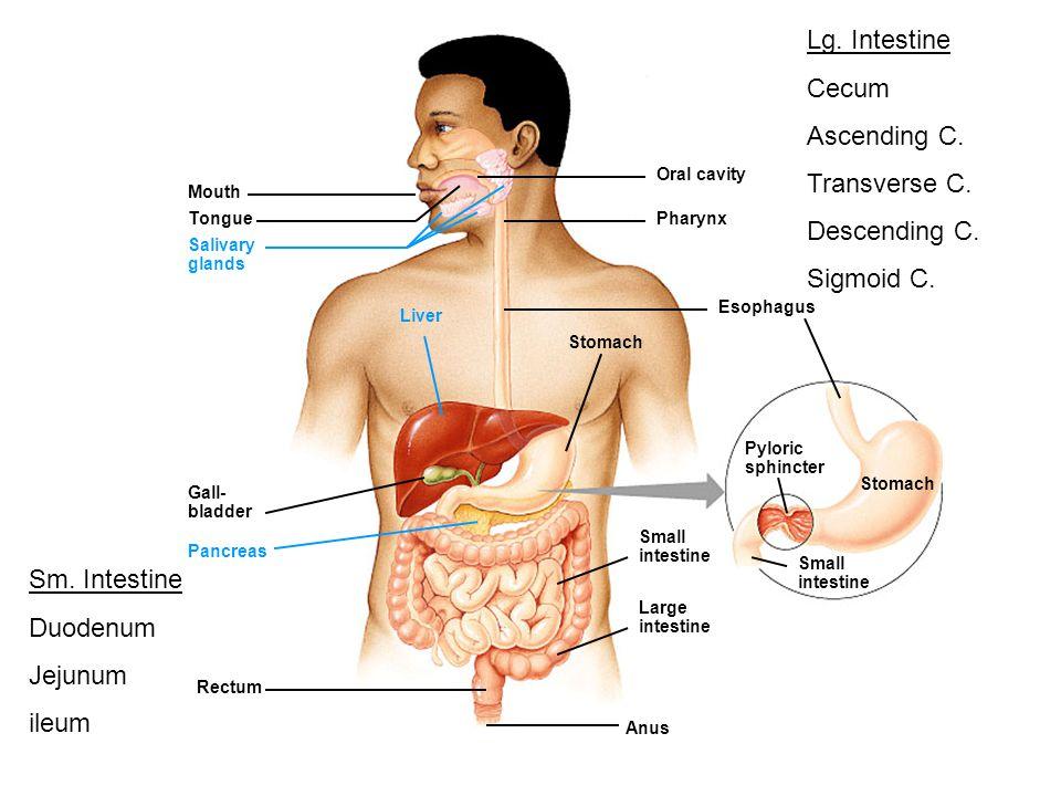 Lg. Intestine Cecum Ascending C. Transverse C. Descending C.