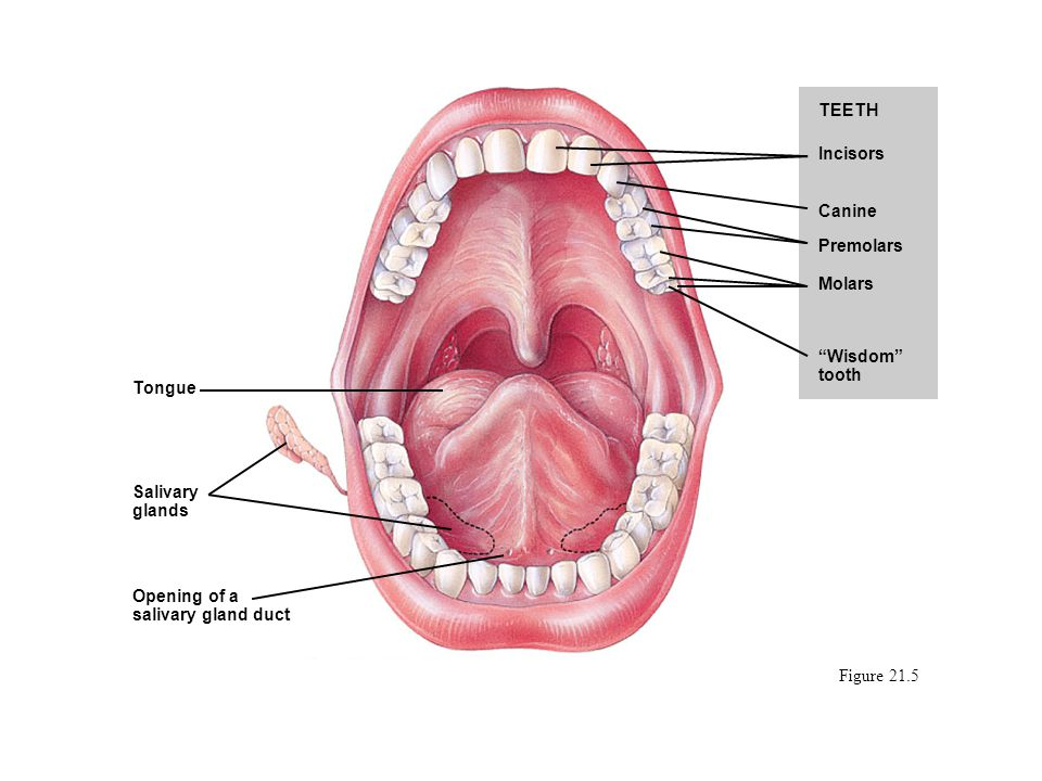 TEETH Incisors. Canine. Premolars. Molars. Wisdom tooth. Tongue. Salivary glands. Opening of a salivary gland duct.