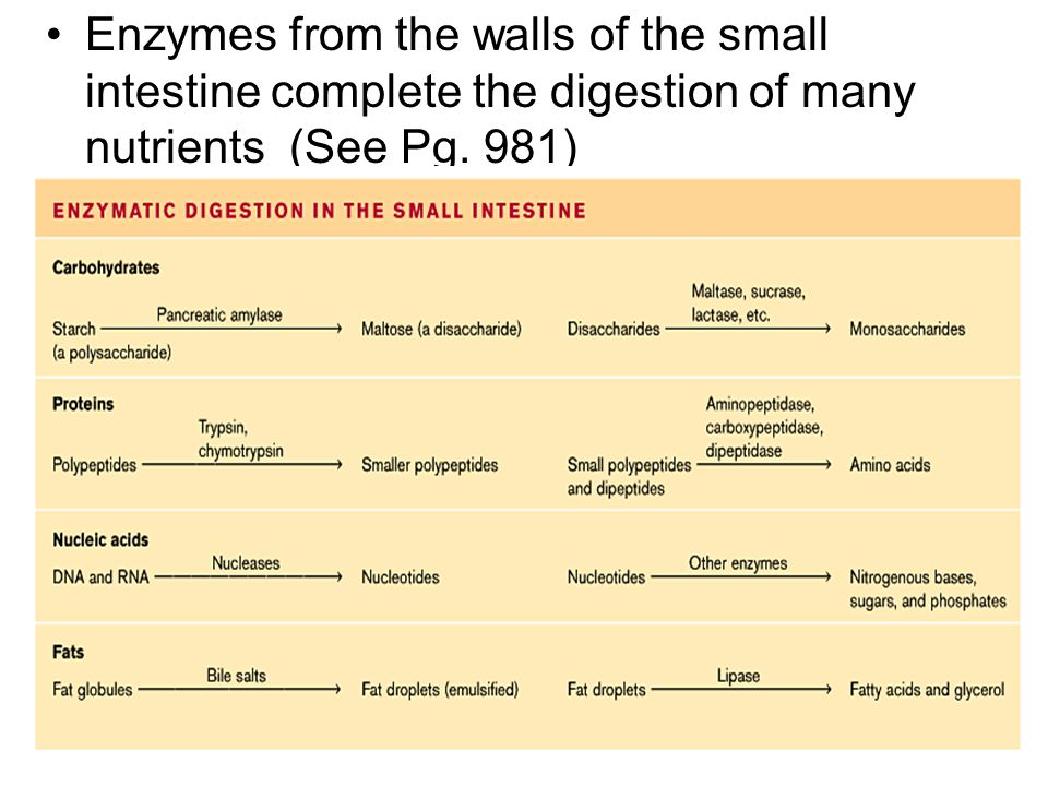 Enzymes from the walls of the small intestine complete the digestion of many nutrients (See Pg. 981)