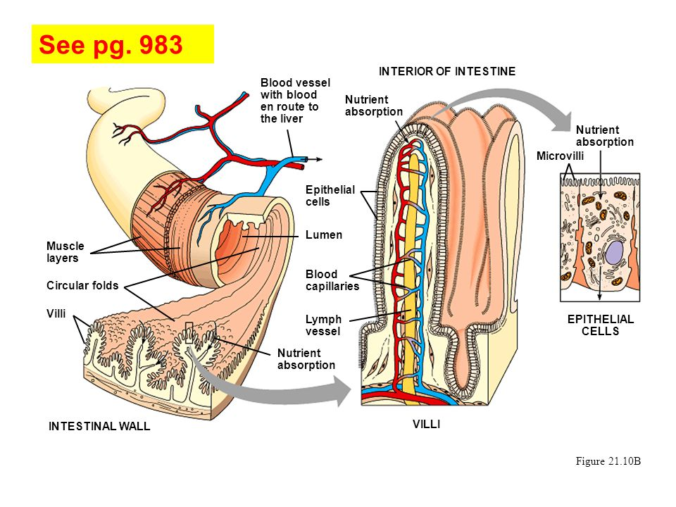 See pg. 983 INTERIOR OF INTESTINE