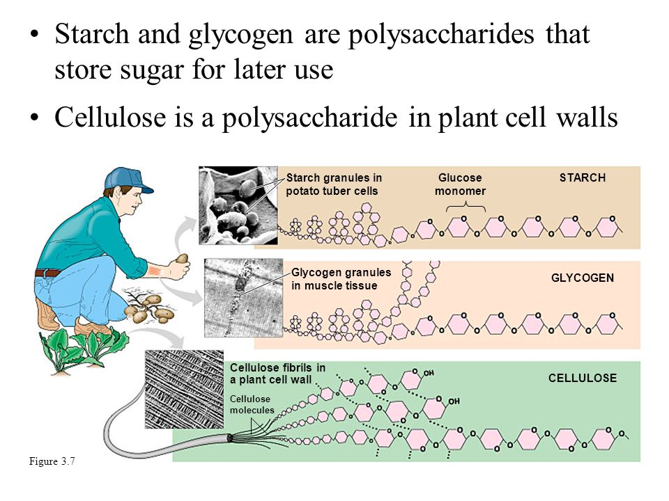 Starch and glycogen are polysaccharides that store sugar for later use