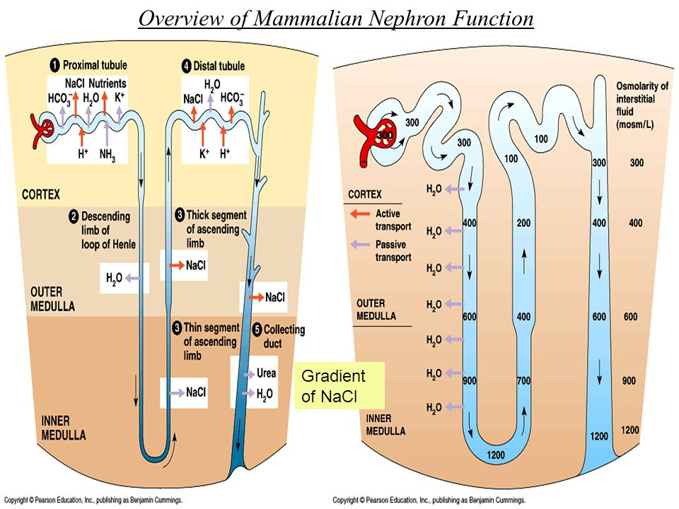 Overview of Mammalian Nephron Function