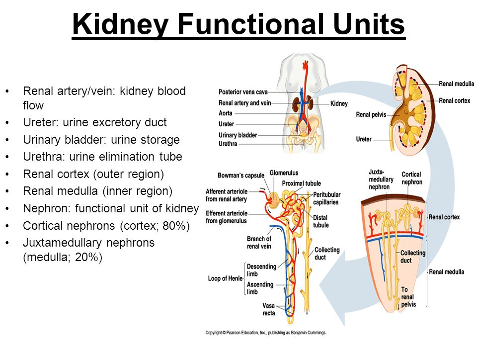 Kidney Functional Units