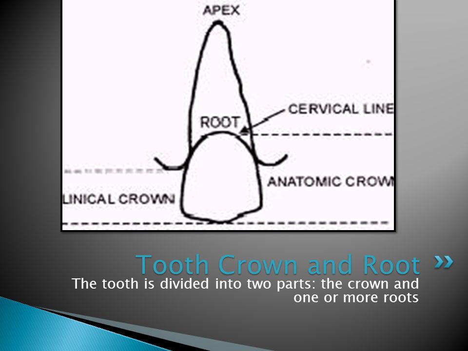 Tooth Crown and Root The tooth is divided into two parts: the crown and one or more roots