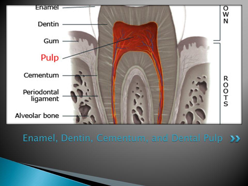Enamel, Dentin, Cementum, and Dental Pulp