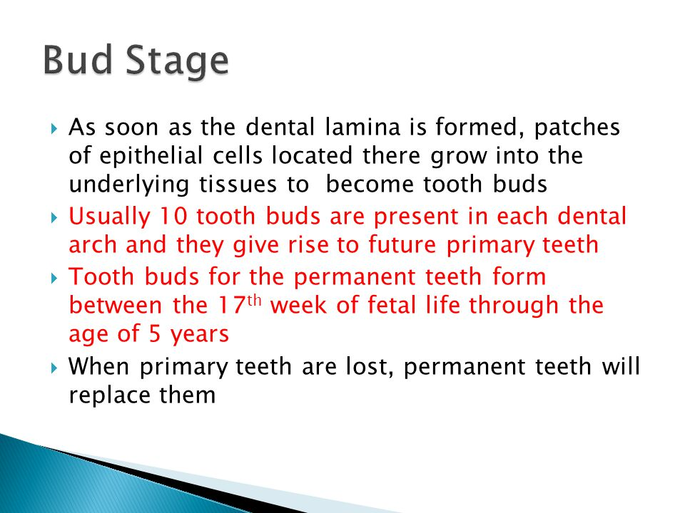 Bud Stage As soon as the dental lamina is formed, patches of epithelial cells located there grow into the underlying tissues to become tooth buds.