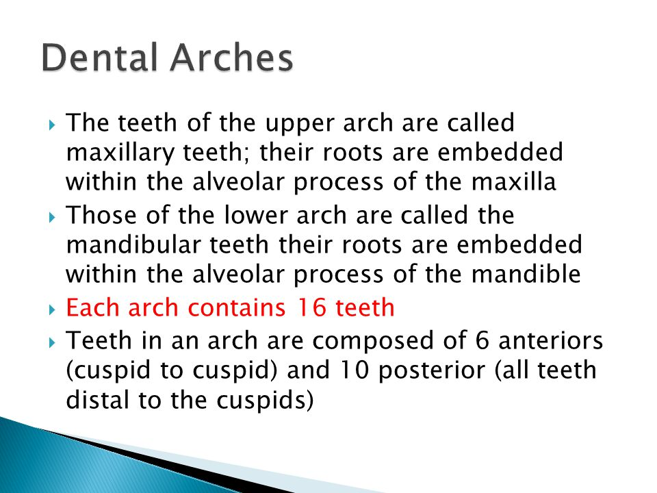 Dental Arches The teeth of the upper arch are called maxillary teeth; their roots are embedded within the alveolar process of the maxilla.