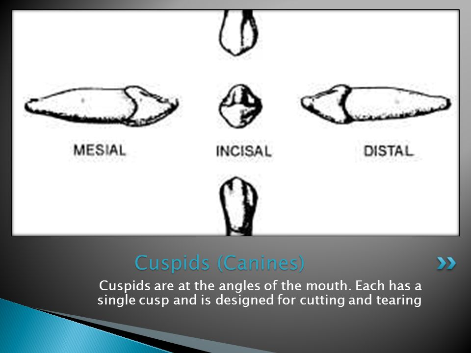 Cuspids (Canines) Cuspids are at the angles of the mouth.
