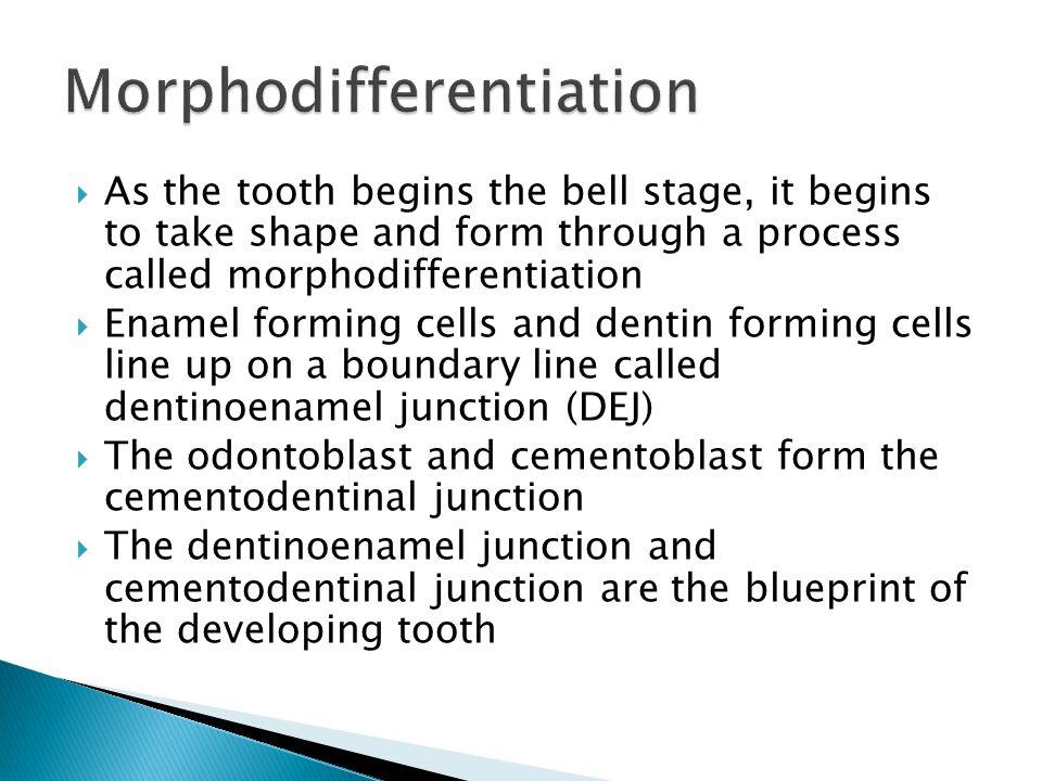 Morphodifferentiation