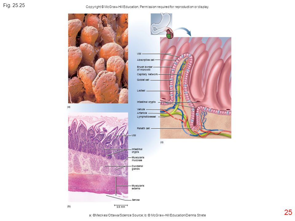Fig. 25.25 Copyright © McGraw-Hill Education. Permission required for reproduction or display. Villi.