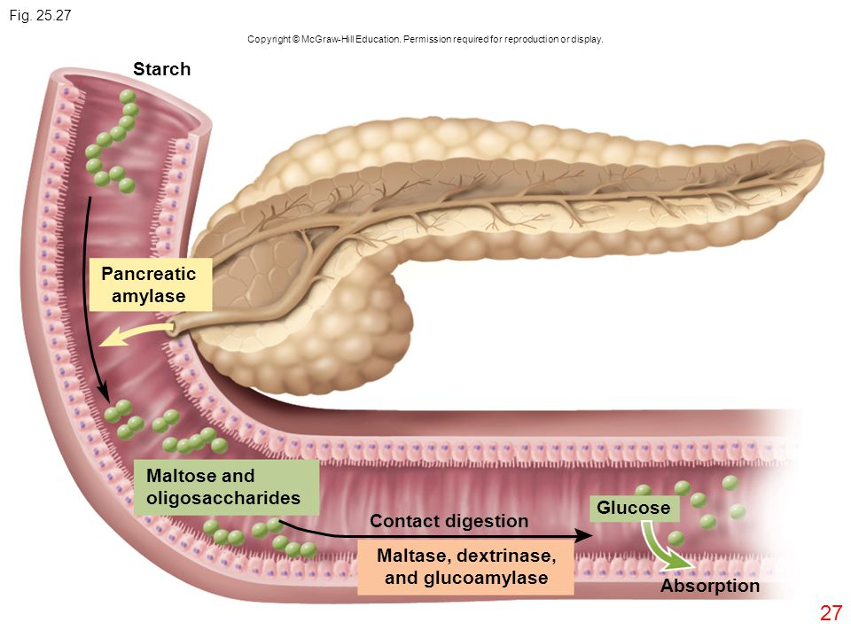 Pancreatic amylase Maltase, dextrinase, and glucoamylase