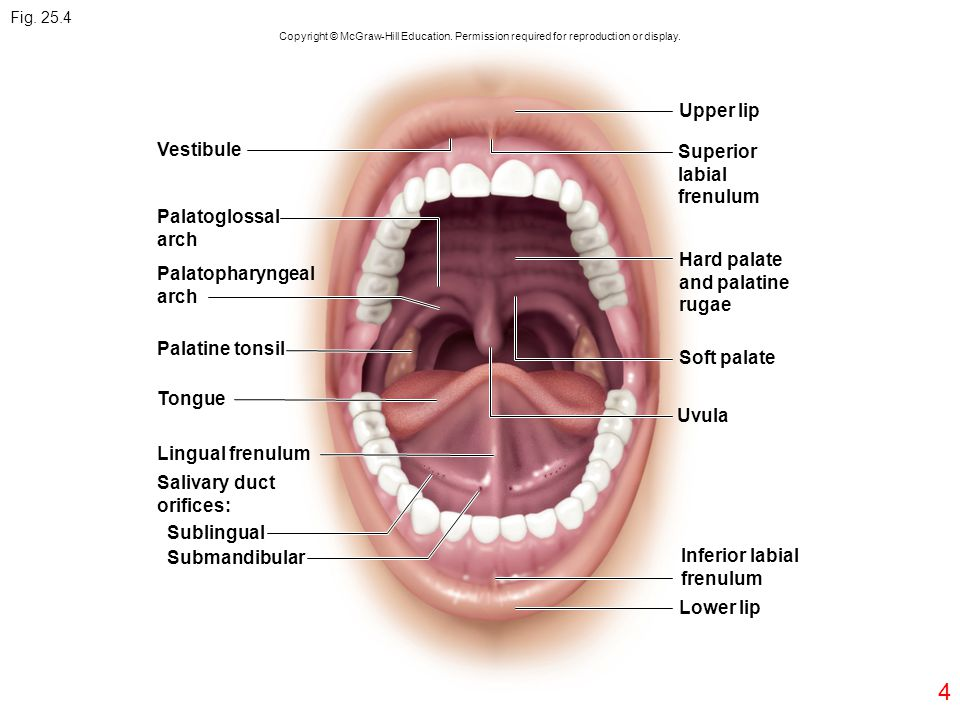 Upper lip Vestibule Superior labial frenulum Palatoglossal arch