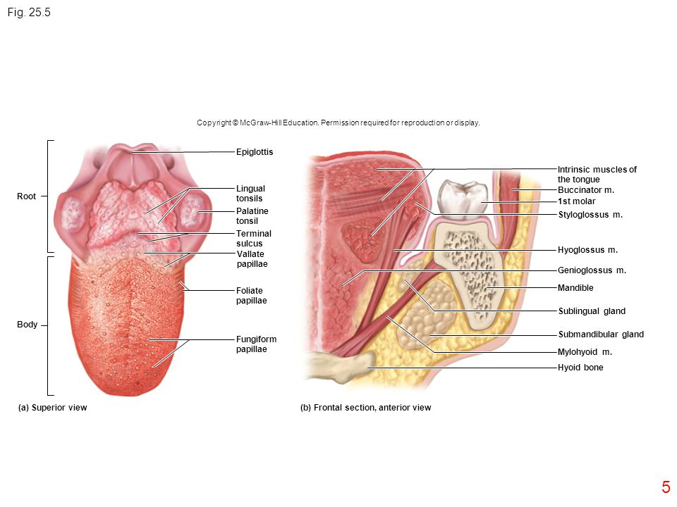 Fig. 25.5 Epiglottis Intrinsic muscles of the tongue Lingual tonsils