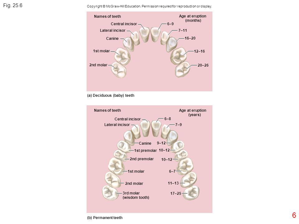Fig. 25.6 6 Names of teeth Age at eruption (months) Central incisor
