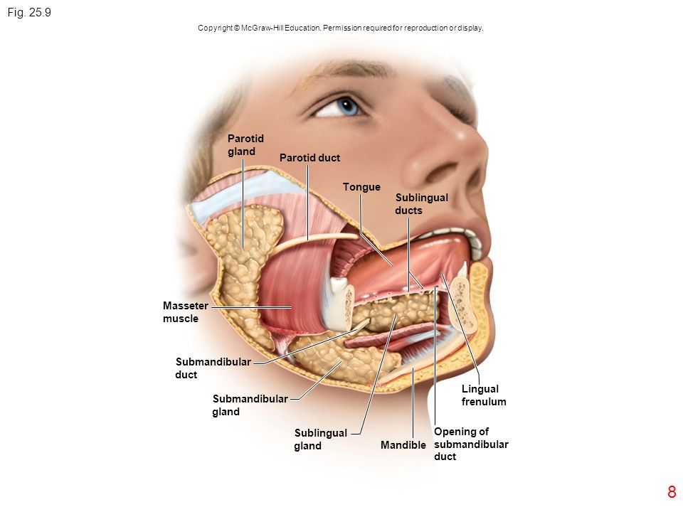 Fig. 25.9 8 Parotid gland Parotid duct Tongue Sublingual ducts